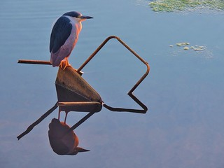 Black-crested Night Heron grabs a seat...