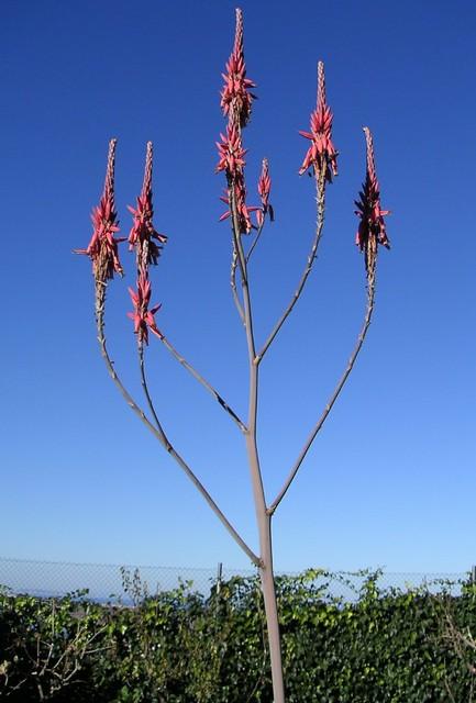 Aloe pretoriensis 03