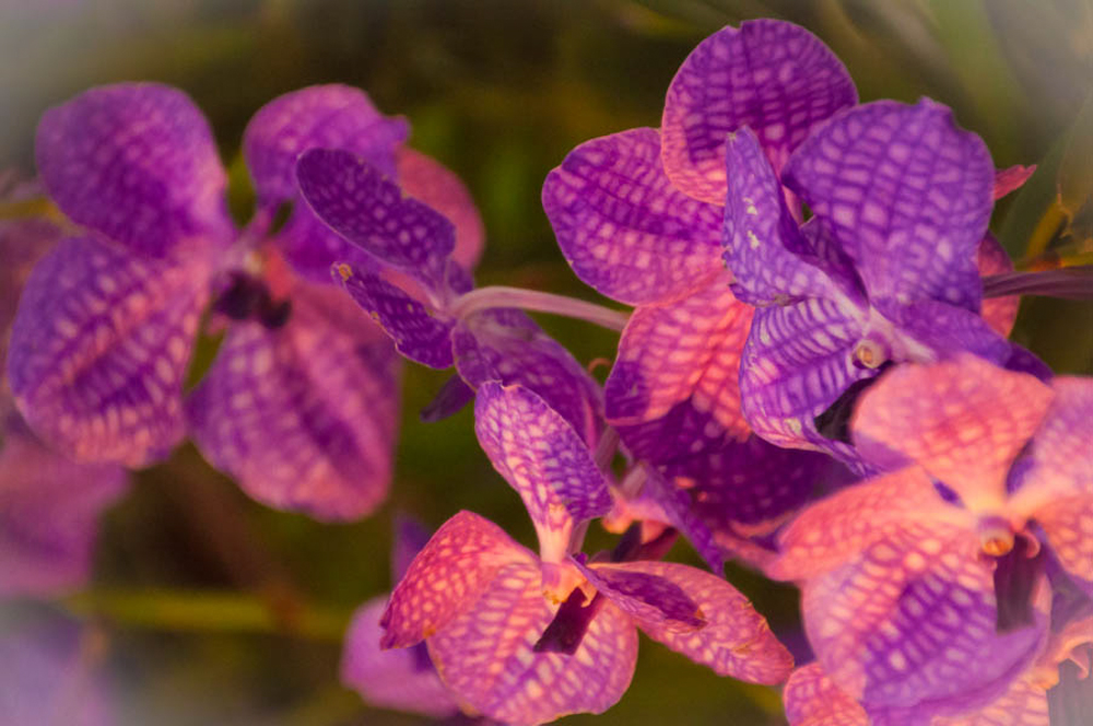 Orchids in the Morning Light, Chiang Mai Flower Festival 2013