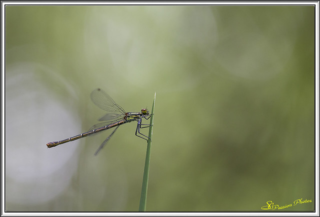 Agrion 01