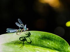 août 2016 quelques libellules