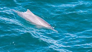 Straddie Dolphin.jpg