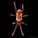 Long-legged Velvet Mite by zxgirl