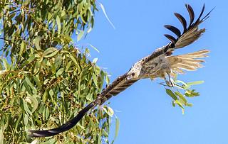 10:02am, lagoon creek, a nesting whistling kite