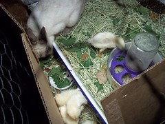 Bunny and a couple chicks at their new home