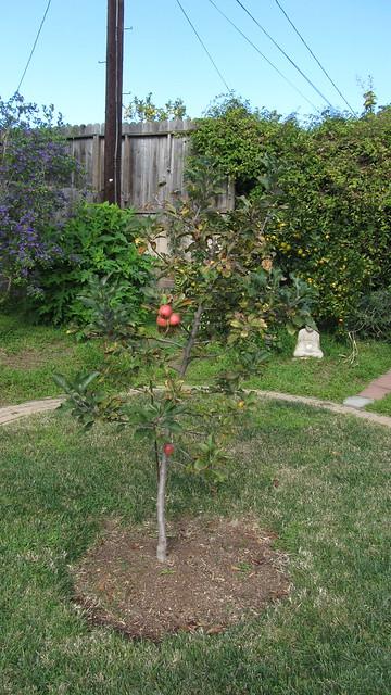 IMG_5121 dorset golden apples goleta december