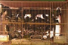 缺乏管理的情況下,野生鳥類於原棲地不斷消失,關入擁擠的籠舍。(圖片來源:台灣防止虐待動物協會)