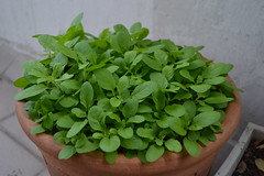 vegetable(0.0), flower(0.0), marjoram(0.0), produce(0.0), food(0.0), annual plant(1.0), leaf(1.0), plant(1.0), herb(1.0), basil(1.0),