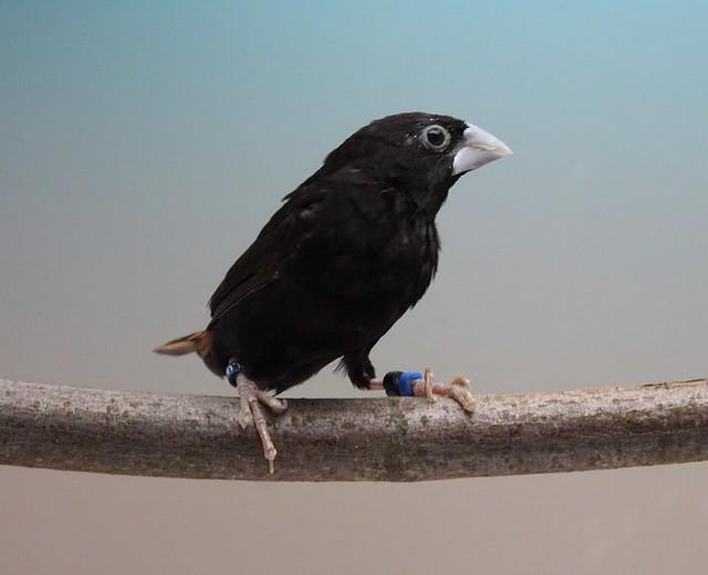Black Mannikin Bird Photo Call And Song Lonchura Stygia