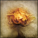 F(rozen rose)