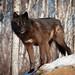 wolf-5784 by jackijustpienta (www.photosbyjacki.com)