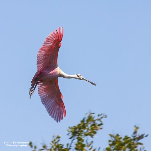 nationalpark florida ngc everglades evergladesnationalpark spoonbill roseatespoonbill spoonbillroseate