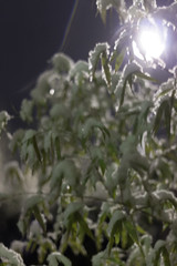 Bamboo Snow