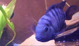 convict cichlid breeding