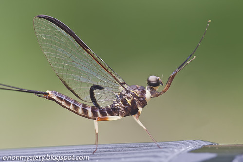 mayfly IMG_7147 copy