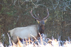 animal, mammal, fauna, deer hunting, elk, wildlife,