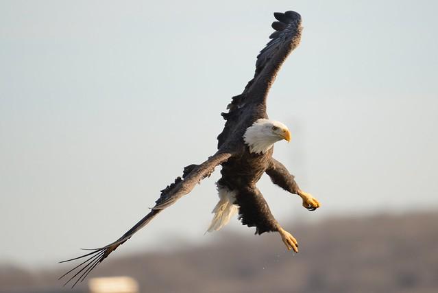 American Bald Eagle [4529]