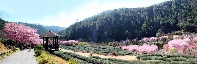 茶園全景4
