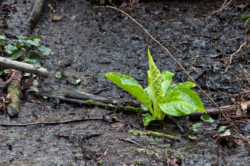 Skunk Cabbage (Lyshichiton americanus)