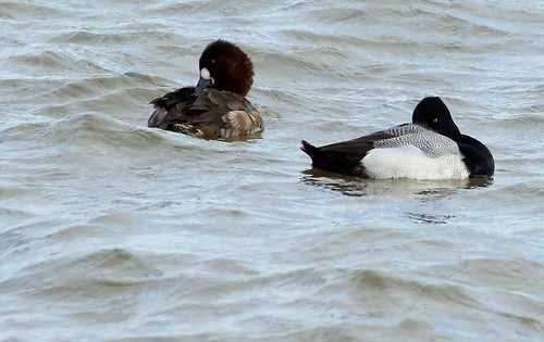 Scaup (?Lesser) (female & male)