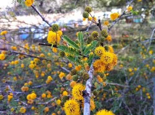 Blooming Huisache