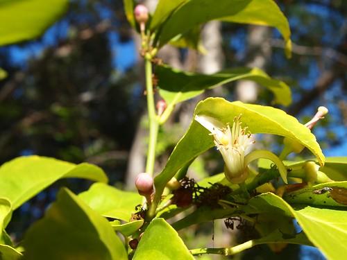 Garden Inventory: Lemon - 07