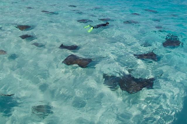 Stingrays-Cayman-Sandbar-SB 533