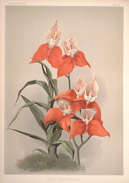 Reichenbachia :orchids illustrated and described. Second Series v.1