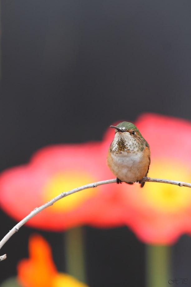 Allen's Hummingbird 032113-2