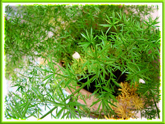 Needle-like foliage and flowers of Asparagus densiflorus 'Sprengeri' (Sprengeri Asparagus Fern, Asparagus/Foxtail Fern, Plume Asparagus)
