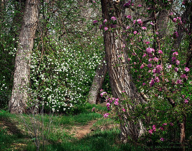 Woodland spring nature photography, of a meandering woodland path through ancient cottonwood trees and wild cherry blossoms of pink and white. Fort Collins, Colorado
