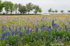 Wildflowers and Bluebonnets...2013