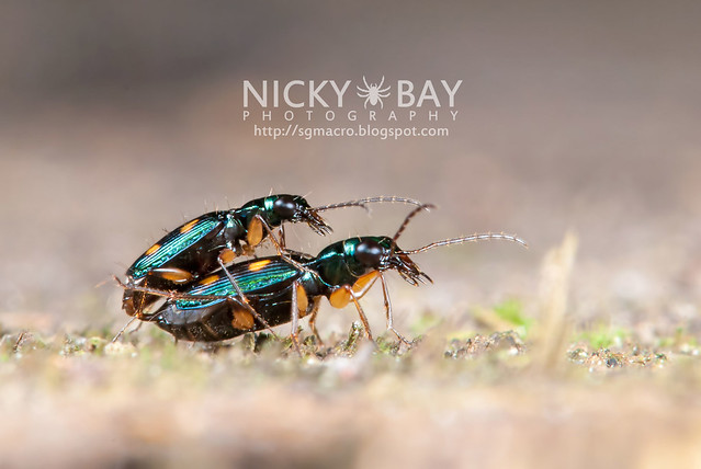 Ground Beetles (Carabidae) - DSC_5234