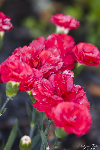 Early Bird Chili Dianthus