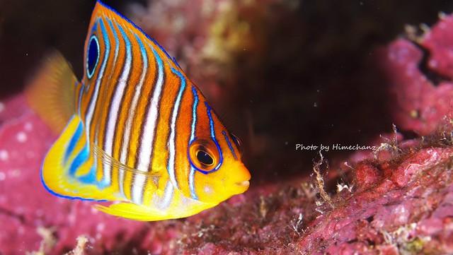 ニシキヤッコ幼魚♪