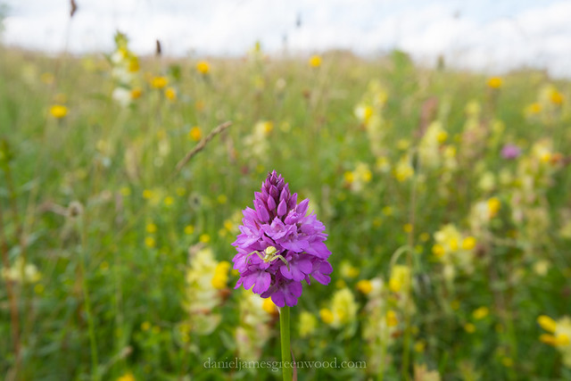 Crab spider on pyramidal orchid