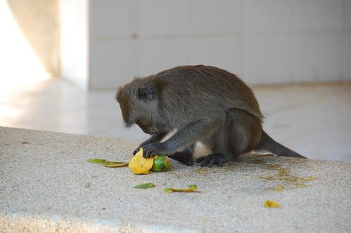 monkey pealing a piece of fruit