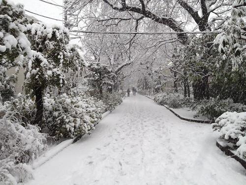 お散歩でとおる緑道も雪景色。