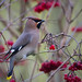 Day #15 Bohemian Waxwing by billnbrooks