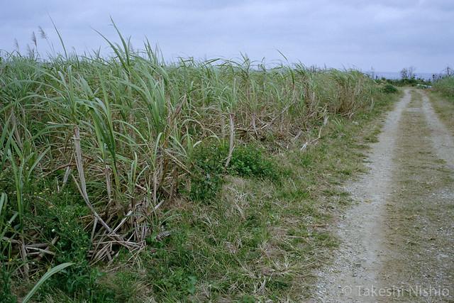 サトウキビ畑を抜ける / Go through sugar cane field