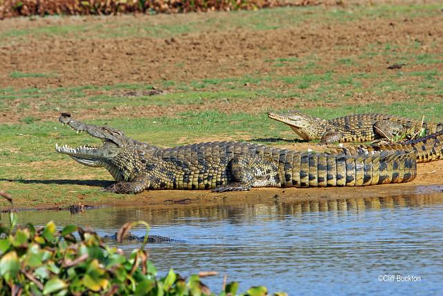 6072 Nile Crocodile