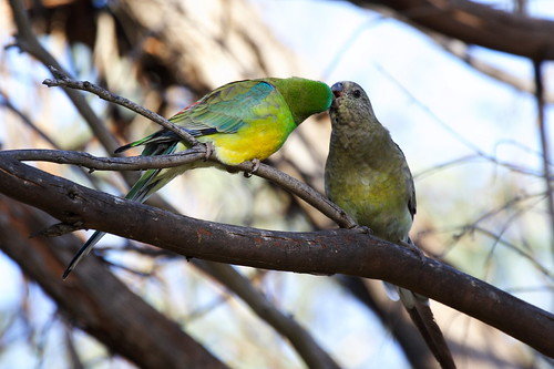 Red_rumped_parrot_IMG_0635