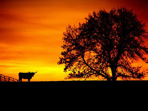 sunset usa nature america catchycolors unitedstates cattle missouri longhorn orangeandblack orangeblack dianawhite dianaobryan