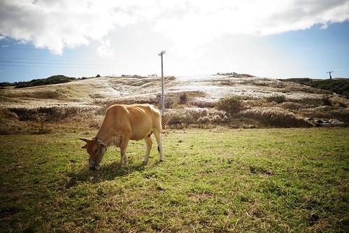墾丁 路邊 牛