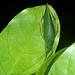 Small photo of Leaf-mimick Katydid (Tettigoniidae)