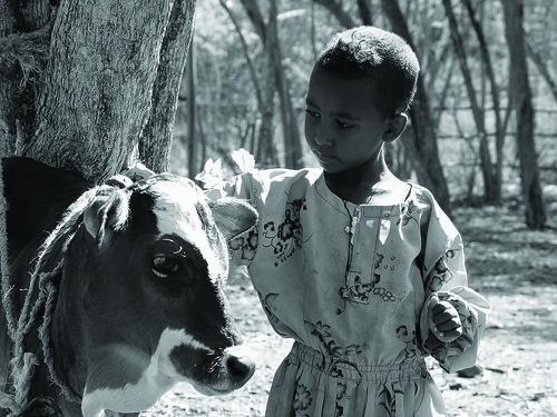 Comforting the calf