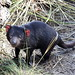 Small photo of Young Tasmanian devil