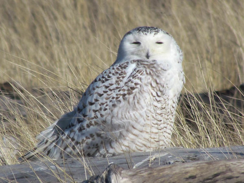 Snowy Owl - Damon Point