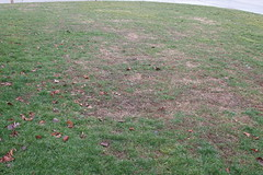 Lawn in need of restoration
