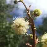 Acacia koa flower showing pistils and stamens